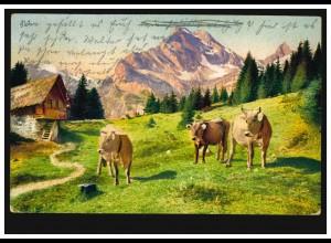 Tiere-AK Kühe auf der Alm, DOBRRZYCA / BZ. POSEN 26.5.1911