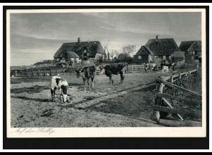 Foto-AK Auf der Hallig - Bauernhäuser mit Kühen, ungebraucht, um 1930